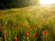 A field of Poppies at sunset Stock Images