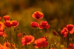 Field poppies in the sunset. spring mood. red poppies in sunlight . The Wallpapers Royalty Free Stock Photography