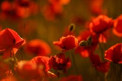 Field poppies in the sunset. spring mood. red poppies in sunlight . The Wallpapers Royalty Free Stock Photo