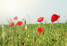 Field of poppies , tinted Stock Photography