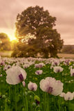 Field of poppies under dramatic skies Royalty Free Stock Images