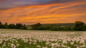 Field of poppies under dramatic skies Stock Photo