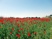 Field of poppies. Royalty Free Stock Photography