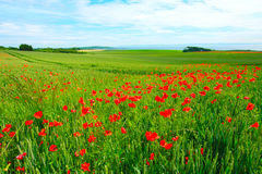 Field of poppies and wheat Royalty Free Stock Photography