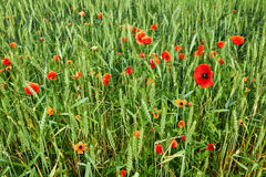 Field of poppies and wheat Royalty Free Stock Photo