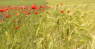 Field of poppies and wheat. Landscape background agriculture royalty free stock photos
