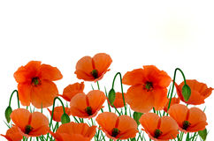 Field poppies on white Stock Images