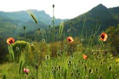 Field with poppy Royalty Free Stock Photos