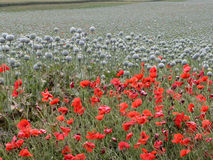 Field of poppy Stock Photo