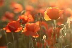 Field poppy Stock Photography