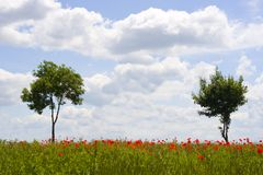 Field of poppy Royalty Free Stock Image