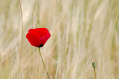 Field Poppy against Light Background with Cooy Space Royalty Free Stock Image