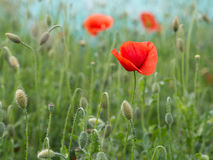 Field poppy in bloom with blurry fruit in the background Stock Photo