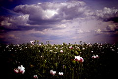 Field of Poppy blooms. Spring field of Poppy blooms stock images