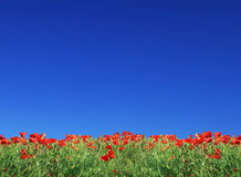 Field from poppy and blue sky. Field from poppy on background clean blue sky Royalty Free Stock Photo