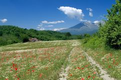 Field of poppy and camomile. Filed of poppy and camomile in canavese Royalty Free Stock Photography