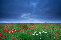 Field with poppy and daisy flowers Stock Image
