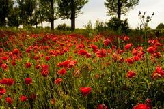 A field of poppy flower. Backlit poppy flower in a field stock images