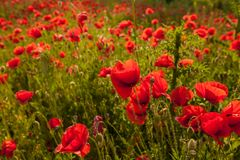 A field of poppy flower. Backlit poppy flower in a field in a sprint time stock photography