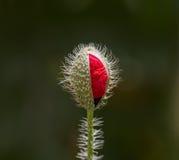 Field Poppy Flower Bud Royalty Free Stock Image