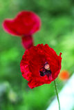 Field poppy is flower and medicinal plant Stock Image
