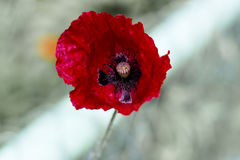 Field poppy is flower and medicinal plant Royalty Free Stock Photo