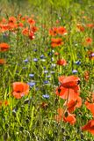 Field with poppy flowers Stock Photography