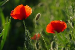 Field of Poppy Flowers Stock Photography