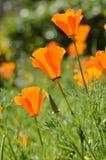 Field of Poppy Flowers. Flower meadow in springtime Stock Photo