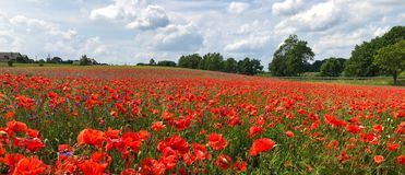 Field of poppy flowers stock photo