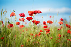 Field of Poppy Flowers Papaver rhoeas in Spring Stock Photography