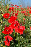 Field of poppy flowers - poppies close up Stock Image