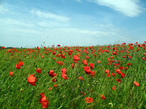 Field of poppy flowers on sky and clouds background. Poppies visible to horizon Royalty Free Stock Photos