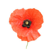 Field poppy, isolated Royalty Free Stock Images