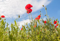 Field with poppy Stock Photography