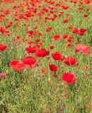 Field with poppy Royalty Free Stock Photo