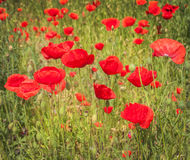 Field with poppy Royalty Free Stock Photography
