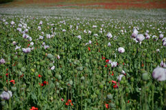 Field of poppy plant pods Stock Images