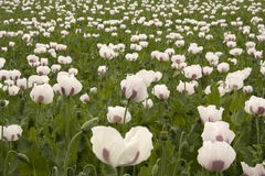 Field of poppy plants Stock Photography