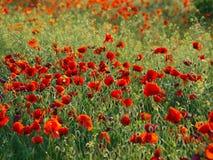 Field of the poppy's Stock Photo