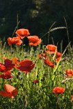 Field with poppy's in the sun on a summer morning Royalty Free Stock Photo
