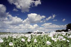 Field of poppy seed. Flowers under clouds Royalty Free Stock Images