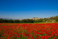 Field of poppy in Spello Royalty Free Stock Images