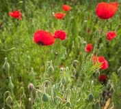 Field with red poppies Royalty Free Stock Images