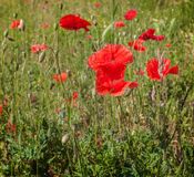 Field with poppy  in summer Royalty Free Stock Photo