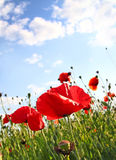 Field with poppy under dark blue by sky. With clouds in spring by a sun day Royalty Free Stock Photo