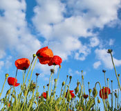 Field with poppy under dark blue by sky. With clouds in spring by a sun day Stock Photos