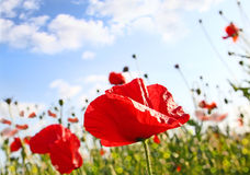 Field with poppy under dark blue by sky. With clouds in spring by a sun day Royalty Free Stock Image