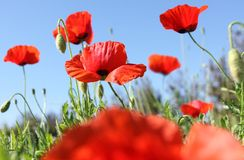 Field of poppys - down view Royalty Free Stock Image