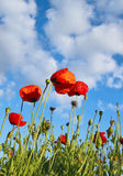 Field with poppys under dark blue by sky. With clouds in spring by a sun day Royalty Free Stock Images